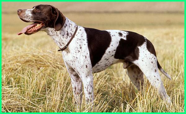 warna anjing pemburu, anjing pemburu yang bagus, anjing pemburu yg bagus, nama anjing pemburu yang bagus, 10 anjing pemburu terbaik