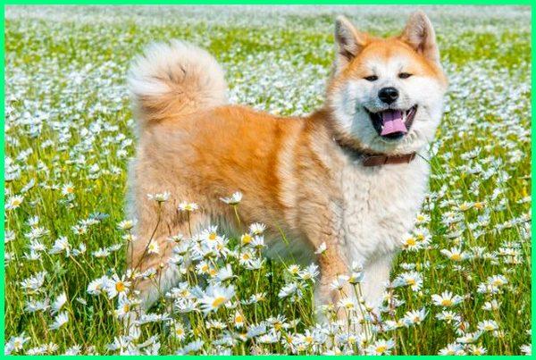 jual anjing akita inu di indonesia, sifat anjing akita inu, anjing ras akita inu, gambar anjing akita inu, perbedaan anjing akita inu dan shiba inu, fakta anjing akita inu, jenis anjing akita inu