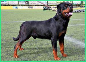 anjing rottweiler