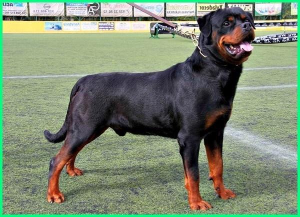 anjing rottweiler dewasa, anjing rottweiler ganas, anjing rottweiler asli, ciri anjing rottweiler asli, cara merawat anjing rottweiler anakan, cara melatih anjing rottweiler agar galak, www.anjing rottweiler.com
