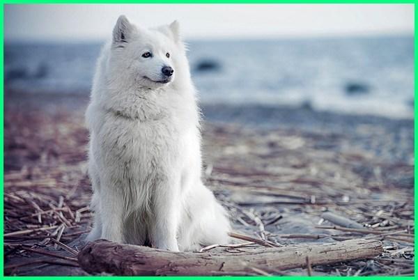 anjing serigala putih, anjing serigala salju, anjing serigala lucu, anjing serigala kutub, anjing ras serigala, anjing yang seperti serigala, anjing tipe serigala, anjing vs serigala, anjing wajah serigala, 7-10 jenis anjing yang mirip serigala