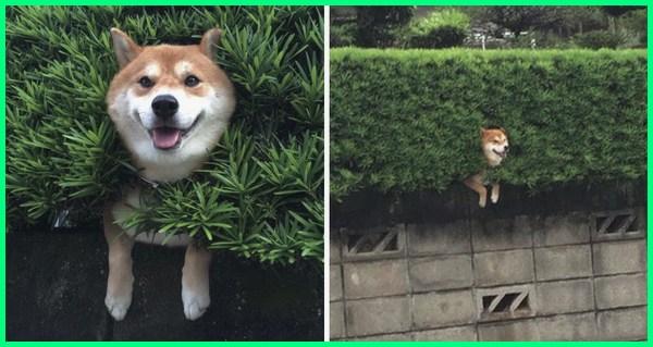 anjing shiba inu lucu, karakter anjing shiba inu, jenis anjing shiba inu, cara merawat anjing shiba inu, ciri ciri anjing shiba inu, fakta anjing shiba inu, foto anjing shiba inu, jenis anjing ras shiba inu, anjing ras shiba inu, jual shiba inu
