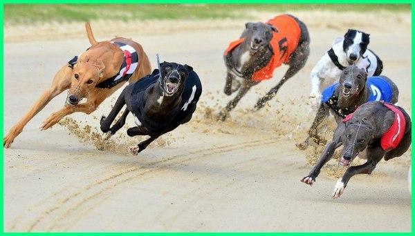 jenis anjing balap tts, balap lari anjing, anjing untuk balap, jenis anjing untuk balap
