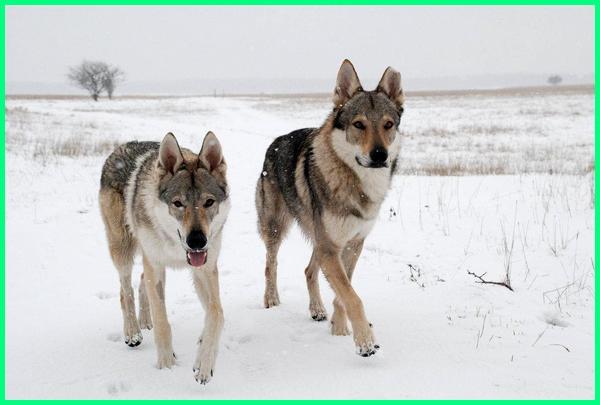 anjing yang mirip dengan serigala, anjing yang mirip sama serigala, anjing serigala, anjing serigala salju, anjing mirip serigala apa namanya, anjing atau serigala, anjing blasteran serigala, anjing berbentuk serigala