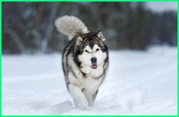 anjing yang mirip serigala, anjing mirip serigala apa namanya, anjing atau serigala, anjing blasteran serigala, anjing berbentuk serigala, anjing bentuk serigala, anjing berupa serigala
