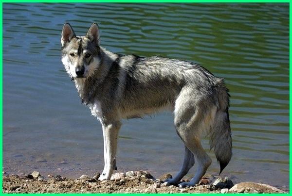 anjing yang kayak serigala, anjing yang kyk serigala, anjing serigala liar, anjing macam serigala, anjing muka serigala, anjing model serigala, anjing serigala namanya, anjing serigala peranakan, anjing yang paling mirip serigala, anjing ras serigala