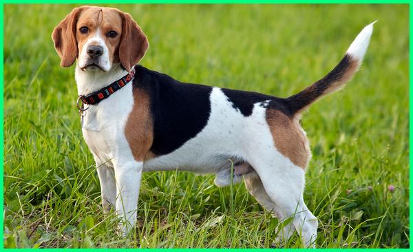 berapa jenis anjing di dunia, ada berapa jenis anjing di dunia, berapa jumlah jenis anjing, berapa macam jenis anjing, nama jenis anjing kecil