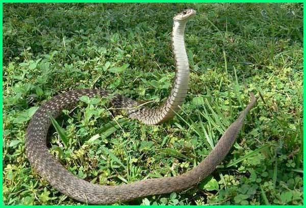 ular air sawah, fungsi ular sawah, habitat ular sawah, istilah ular sawah, images ular sawah, jenis ular sawah