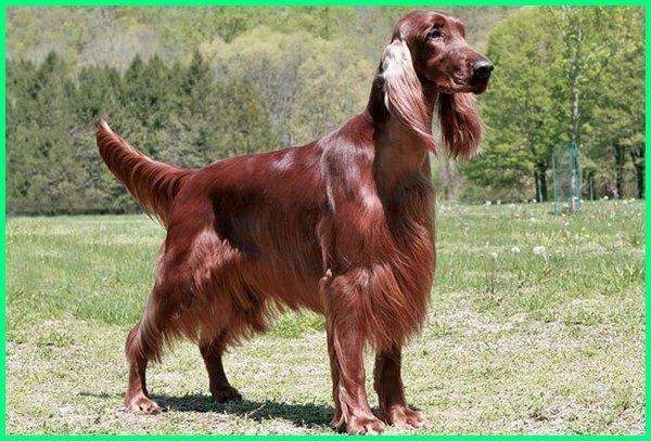nama anjing pemburu babi, nama anjing pemburu betina, olx anjing pemburu, obat anjing pemburu, anjing pemburu padang, anjing pemburu paling bagus, anjing pemburu pemberani, anjing pemburu rubah, anjing ras pemburu, ramuan anjing pemburu