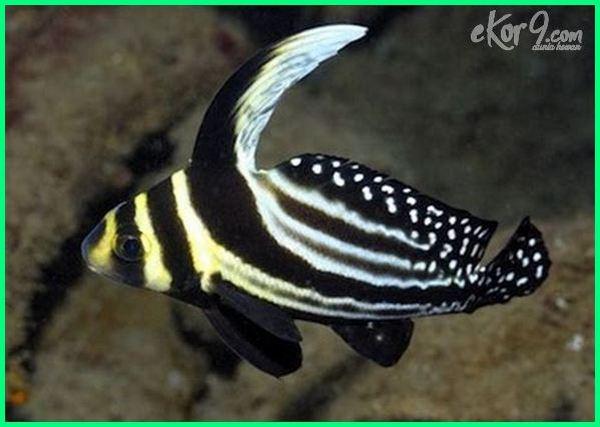 drum fish, ikan air payau adalah, ikan air payau dan nama latinnya, ikan air payau hias, ikan air payau apa saja, ikan air payau pdf, ikan air payau aquarium, ikan air payau aquascape, contoh ikan air payau adalah, ikan air tawar payau asin