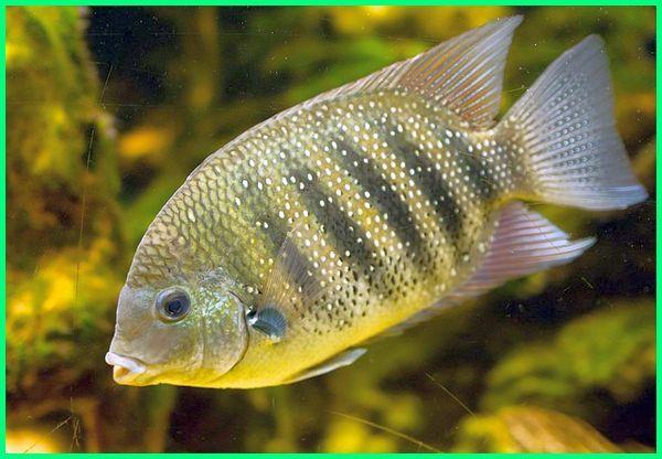ikan asli air payau, ikan asian cichlid, ikan air payau beserta nama latin, gambar ikan air payau beserta namanya, contoh ikan air payau brainly, ikan air payau yg bisa dimakan, budidaya ikan air payau, ikan air payau contohnya, jenis ikan air payau dan ciri-cirinya, ciri ikan air payau