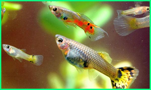 7 Ikan Hias Yang Mudah Beranak Berkembang Biak Di Akuarium Dunia Fauna Hewan Binatang Tumbuhan Dunia Fauna Hewan Binatang Tumbuhan
