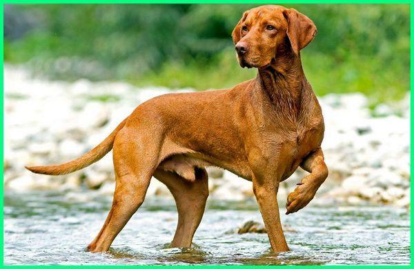 anjing pelari tercepat di dunia