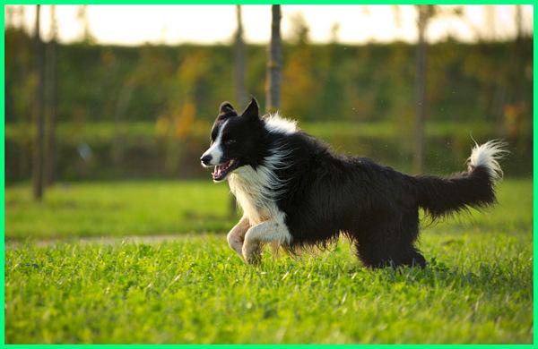 anjing border collie wikipedia, anjing border collie hitam, jenis anjing border collie, ciri anjing border collie, karakter anjing border collie, anjing ras border collie, sifat anjing border collie