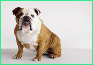 anjing bulldog