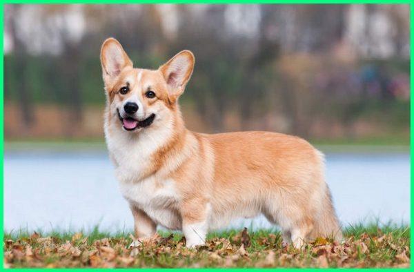 jenis anjing pendek panjang, jenis anjing berkaki pendek, nama jenis anjing pendek, jenis anjing yg pendek, jenis anjing pendek badan panjang, jenis jenis anjing pendek, jenis jenis anjing kaki pendek, jenis jenis anjing berkaki pendek, jenis anjing kaki pendek, jenis anjing kecil kaki pendek, jenis anjing yang pendek