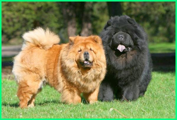 jenis anjing berbulu lebat, jenis anjing kecil berbulu tebal, jenis anjing lucu berbulu lebat, jenis anjing yang lucu, jenis anjing yang terkenal, jenis anjing yang cocok dipelihara, 10 jenis anjing terlucu di dunia
