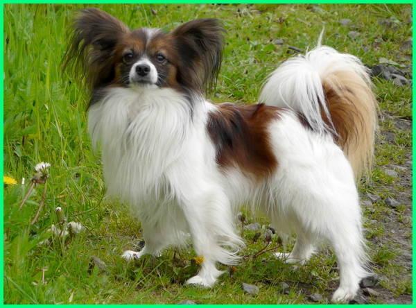 45 Jenis Anjing Terkenal Di Dunia Gambar Dan Keterangannya Dunia Fauna Hewan Binatang Tumbuhan Dunia Fauna Hewan Binatang Tumbuhan