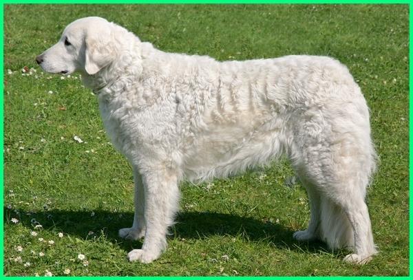 anjing mirip kambing, anjing mirip domba, anjing berbulu putih tabal, anjing berbulu putih lebat