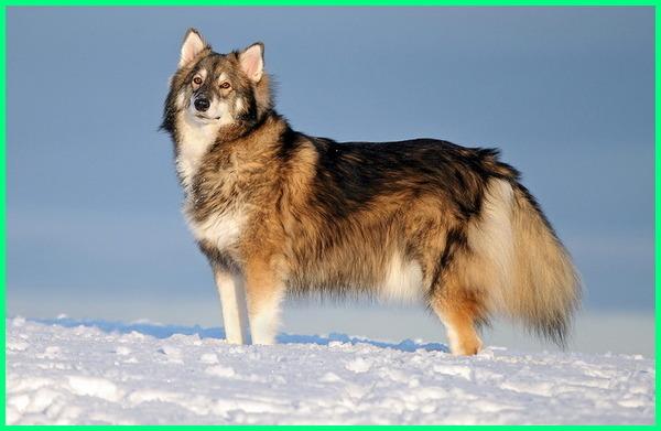 foto anjing yang mirip serigala, gambar anjing yang mirip serigala, anjing hibrida serigala, anjing serigala itu, anjing jenis serigala, anjing yang kayak serigala, anjing macam serigala, anjing muka serigala, anjing model serigala, anjing serigala namanya