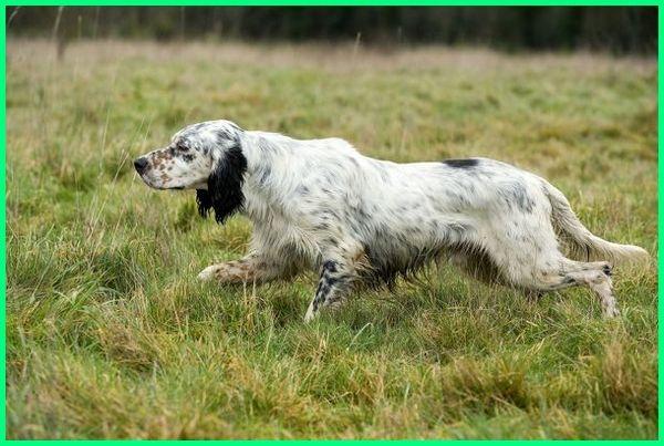 fhoto gambar anjing pemburu, ciri ciri2 anjing pemburu babi hutan yang bagus, cari nama anjing pemburu domba paling ganas, jenis anjing kampung liar yang berburu rusa tikus musang