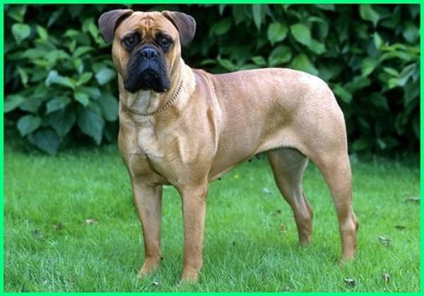 jenis anjing penjaga terbaik, jenis anjing penjaga yang setia, jenis anjing penjaga paling garang, jenis anjing penjaga rumah yang bagus, jenis anjing penjaga dan setia