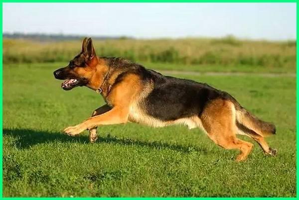 anjing yang dipakai polisi, fungsi anjing polisi, gambar anjing polisi, gambar anjing herder polisi, harga anjing herder polisi, anjing pelacak polisi militer