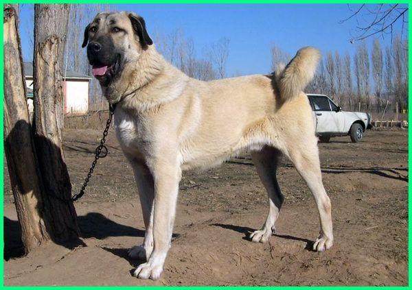 jenis anjing yang ada di dunia,jenis anjing yg ada di dunia, jenis anjing di belahan dunia, jenis anjing besar di dunia, berbagai jenis anjing di dunia, jenis anjing di dunia, foto jenis anjing di dunia