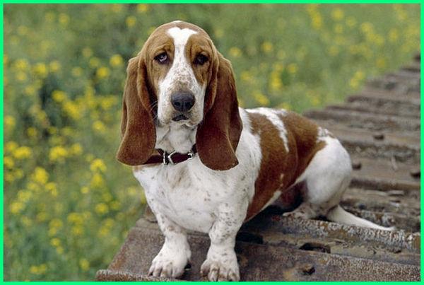 jenis anjing pendek dan panjang, jenis anjing pendek panjang, jenis anjing berkaki pendek, jenis anjing ekor pendek, nama jenis anjing pendek, jenis anjing yg pendek, jenis anjing pendek badan panjang, jenis jenis anjing pendek, jenis anjing yang pendek