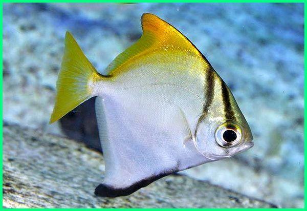 Ikan Yang Bergerak Dengan Sirip Samping Dan Tengah Senang Tinggal Di