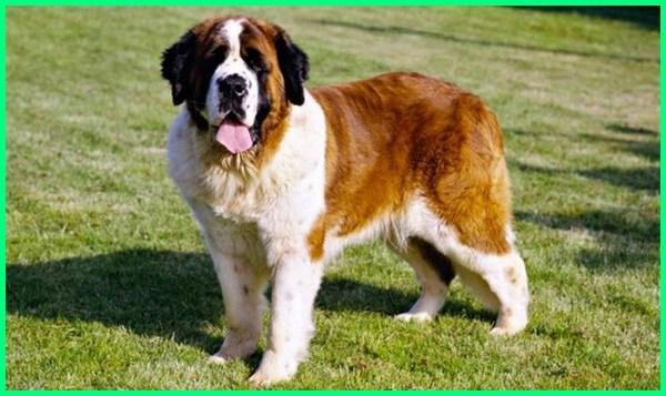 jenis anjing terbesar dunia, jenis anjing besar di dunia, jenis anjing terbesar di dunia, jenis anjing ras di dunia, jenis anjing ras terbesar di dunia