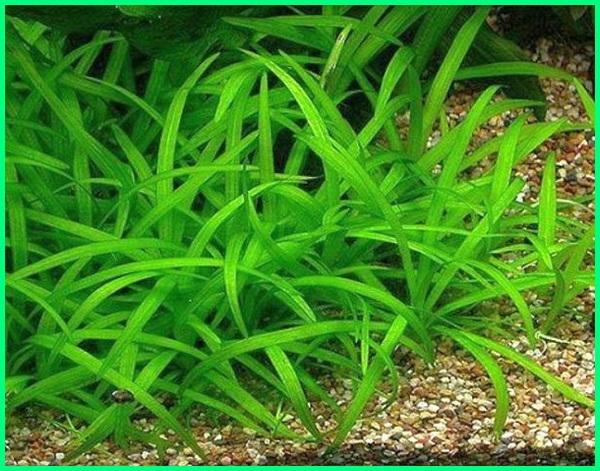 jenis tanaman carpet seed aquascape, jenis tanaman dasar aquascape, jenis tanaman depan aquascape, jenis tumbuhan di aquascape