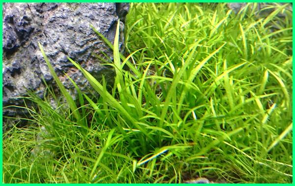 jenis tanaman aquascape yang mudah perawatannya