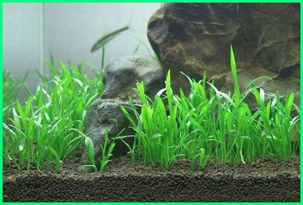 tanaman aquascape berakar, jenis tanaman foreground aquascape, gambar tanaman aquascape, tanaman aquascape karpet