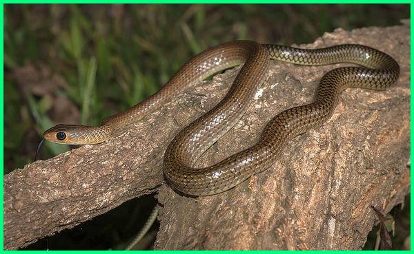 ular sawah kecil, ular sawah tidak berbisa, ular sawah warna coklat, gambar ular sawah kecil, jenis ular sawah
