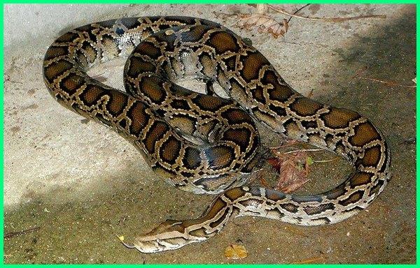 jenis ular sanca bodo, jenis ular sanca di indonesia, jenis ular sanca di jawa, jenis ular sanca kuning, jenis ular sanca merah, jenis ular sanca mata merah