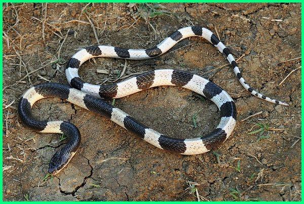 jenis ular sawah berbisa, ular wuling sawah, ular tambelang, jenis ular yang ada di sawah, jenis ular di sawah, nama jenis ular sawah, ular sawah kecil