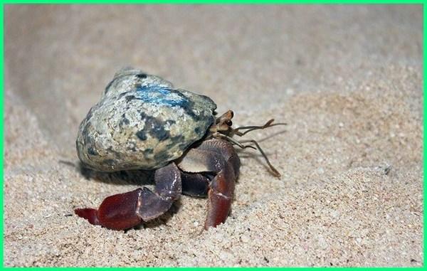 kelomang, kumang laut, kumang adalah, kumang terbesar, umang umang, kumang animal