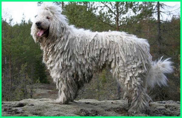 jenis anjing penjaga kebun, commodore dog, anjing komondor, macam jenis anjing penjaga, jenis anjing penjaga ternak, jenis anjing untuk penjaga rumah, jenis anjing penjaga yang baik