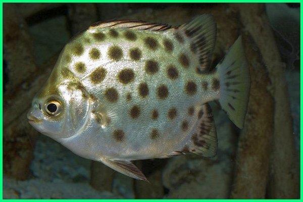 nama ikan di air payau, gambar ikan di air payau, foto ikan air payau, ciri fisik ikan air payau, gambar ikan hias air payau, gambar dan jenis ikan air payau, ikan yang hidup di air payau