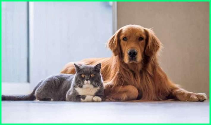 perbedaan memelihara anjing dan kucing, apa perbedaan anjing dan kucing, apa beda anjing sama kucing, perbedaan anjing dan kucing, beda anjing dengan kucing, perbedaan fisik kucing dan anjing, perbedaan karakter anjing dan kucing, perbedaan makanan kucing dan anjing, perbedaan memelihara kucing dan anjing, perbedaan morfologi kucing dan anjing