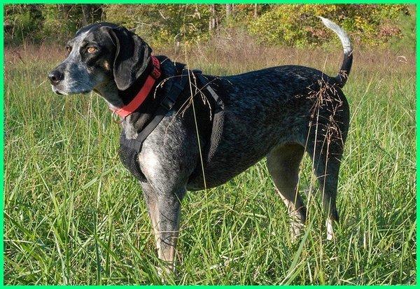 anjing anjing pemburu, anjing pemburu babi liar, anjing pemburu careuh, anjing pemburu.com, anjing pemburu ciri