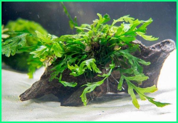 jenis tanaman aquascape highlight, jenis tanaman aquascape beserta gambar, aneka jenis tanaman aquascape, jenis tanaman aquascape background, jenis tanaman buat aquascape