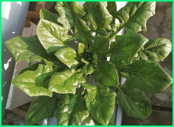 tanaman sayur air, tanam sayur di talang air, tanaman sayur yang hidup di air, tanaman sayur tahan air, tanaman sayur media air, tanam sayur dalam botol air, tanam sayur dalam air, tanam sayur media air