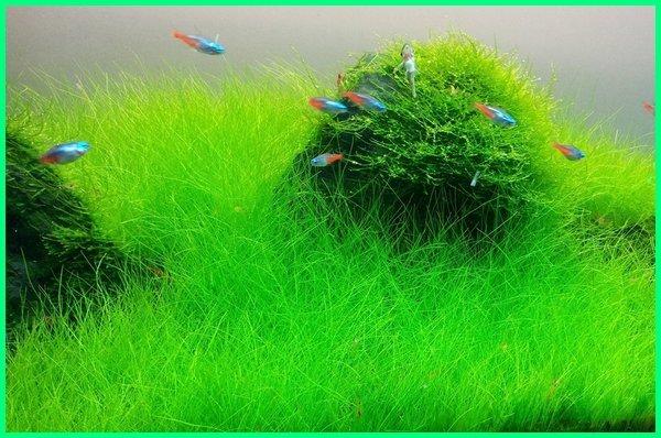 jenis tanaman aquascape beserta gambar