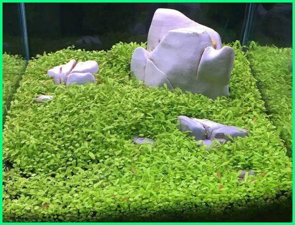 tanaman aquascape, tanaman air aquascape, tanaman aquascape tanpa pupuk dasar, tanaman aquascape untuk pemula, tanaman aquascape busuk