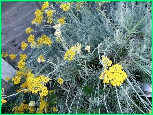tanaman mengusir kucing, Curry plant (Helichrysum italicum)