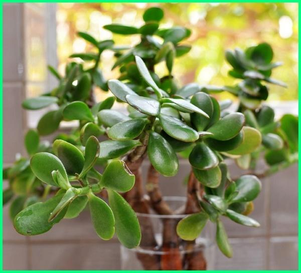 tanaman hias bisa hidup di air, tanaman hias yang bisa hidup di air, contoh tanaman hias yang hidup di air, tanaman hias di dalam air, tanaman hias air dalam botol, tanaman hias dalam air tawar, tanaman hias daun air