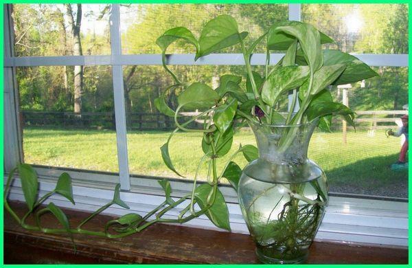 tanaman hias di air tawar, tanaman hias air di pot, tanaman hias di botol air, tanaman hias yang di air, tanaman hias air adalah, tanaman hias aquarium air tawar, jenis tanaman hias hidup di air, gambar tanaman hias air, jenis tanaman hias yang bisa hidup di air