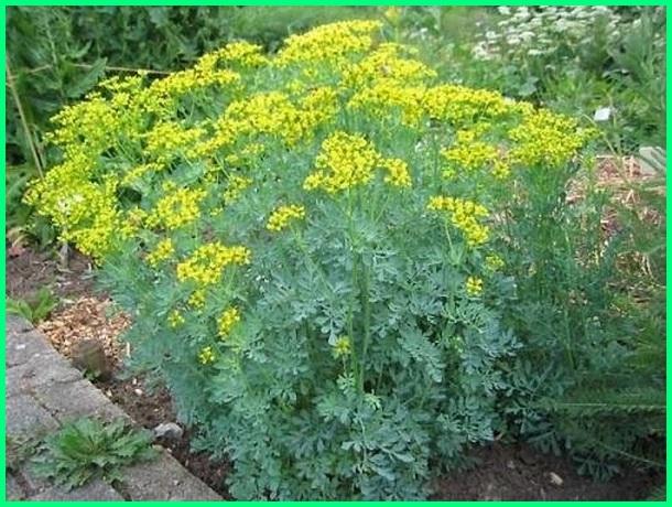 tanaman usir kucing, Rue atau Daun inggu (Ruta graveolens) pengusir kucing